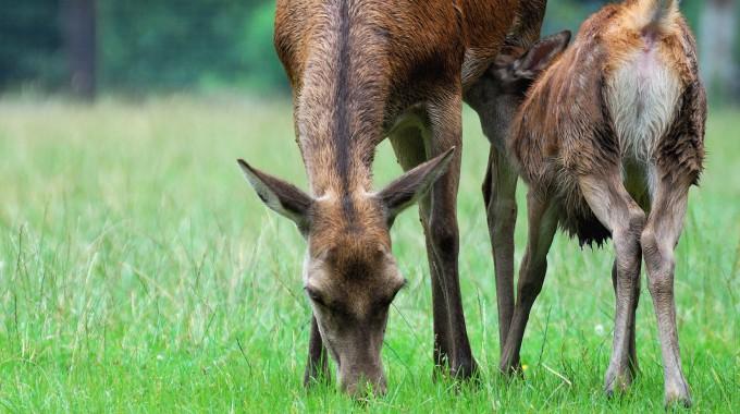 Alttier + Kalb Muttertierschutz